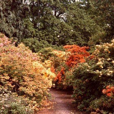 Brightly coloured azaleas | Joanna Illingworth's family album