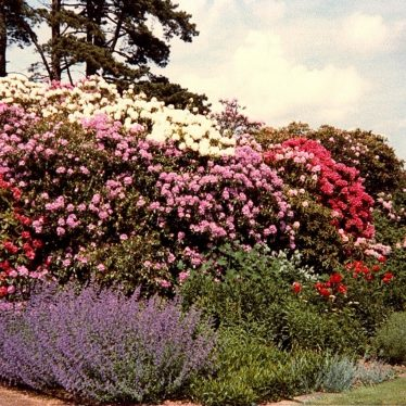 Pink, white and purple rhododendrons | Joanna Illingworth's family album