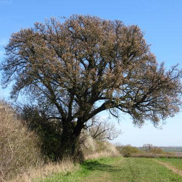 Cubbington 'Tree of the Year' 2015