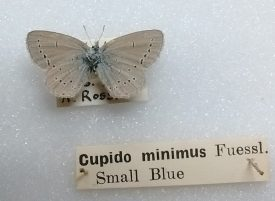 Entomological display of the Small Blue | Photograph courtesy of Warwickshire Museum