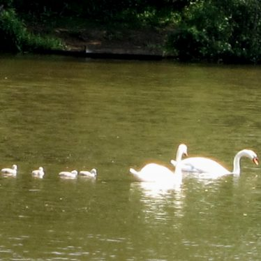 Pair of swans with 4 little cygnets swimming on a lake   Anne Langley