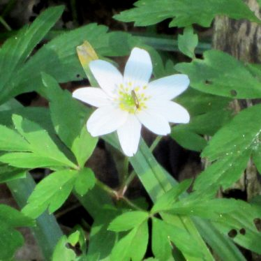 White flower with 8 petals, gold stamens & small insect sitting on it, leafy background   Anne Langley