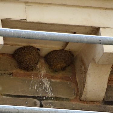 Resident House Martin checking out the works from the comfort of the nest on the left. | Image courtesy of Andy Isham