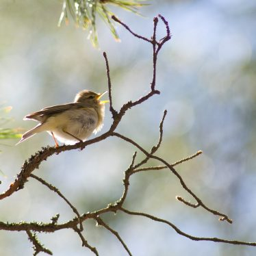 A Singing Willow Warbler. | Image by Jyrki Salmi, and originally uploaded to Wikimedia Commons