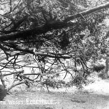 Edgehill.  Beech woods