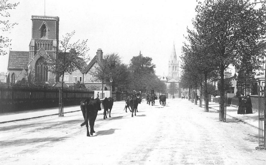 Clifton Road, Rugby. Two churches. Cattle walking along road in direction of town. Ladies on pavement.   [The church in the distance is St Andrew's. The square towered church on the left is Holy Trinity, daughter church to St.Andrews. It closed it's doors in c1971 and was later demolished to make way for retirement flats known as Trinity Court. The original church lych gate remains} |  IMAGE LOCATION: (Warwickshire County Record Office)