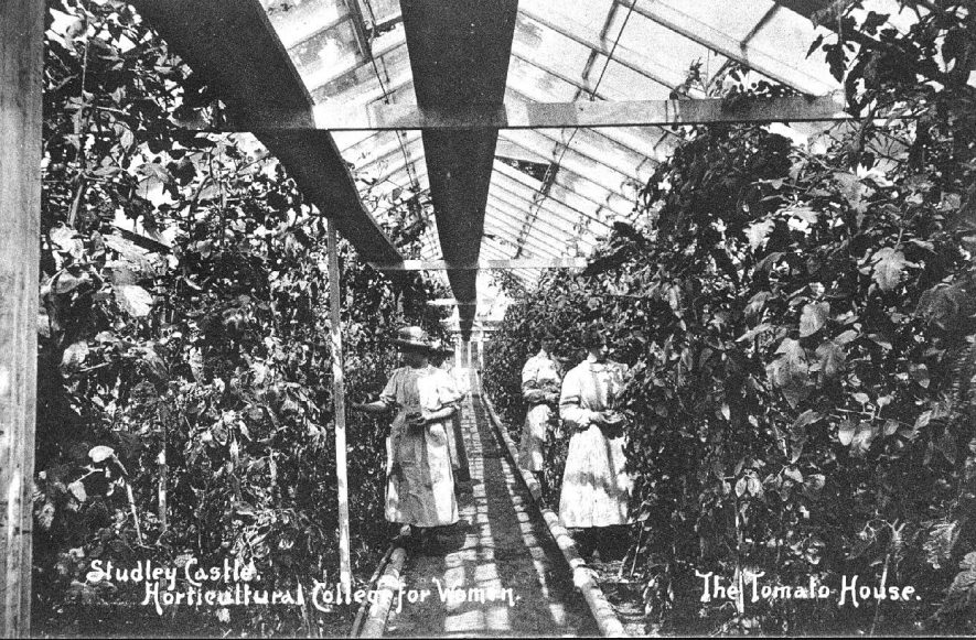 View in the tomato house at Studley Castle Horticultural College for Women.  1910s |  IMAGE LOCATION: (Warwickshire County Record Office)