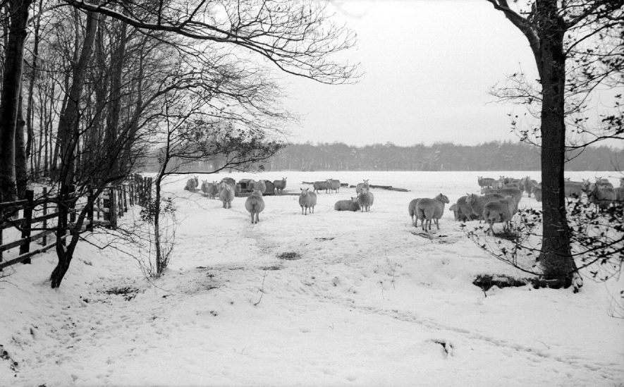 Sheep in the snow in Arbury Park.  1963 |  IMAGE LOCATION: (Warwickshire County Record Office)