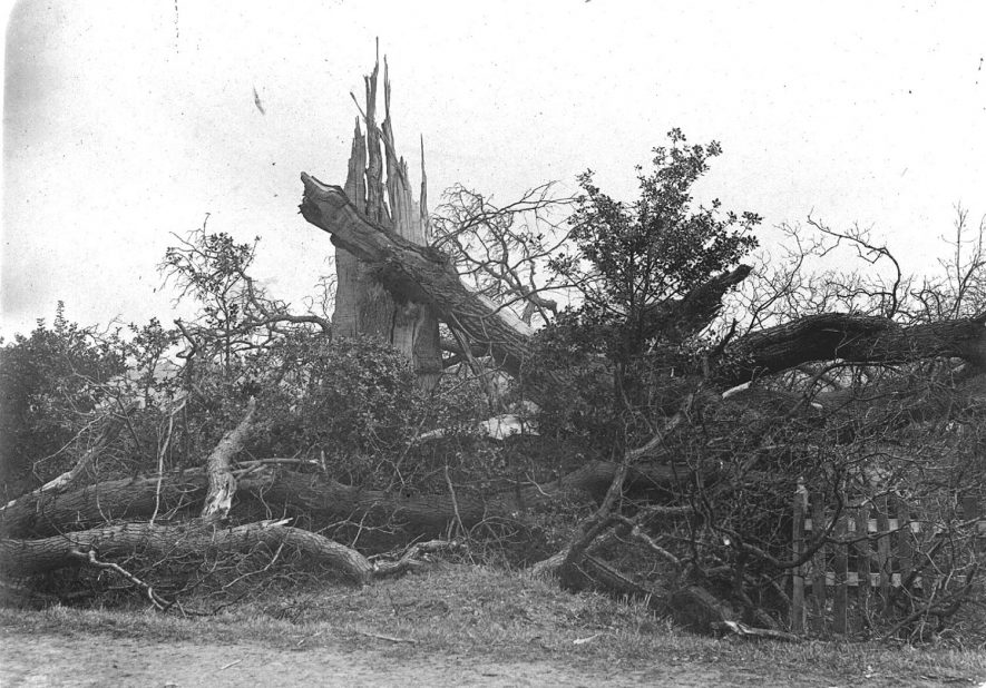 Fallen tree probably in Nether Whitacre.  1900s |  IMAGE LOCATION: (Warwickshire County Record Office)