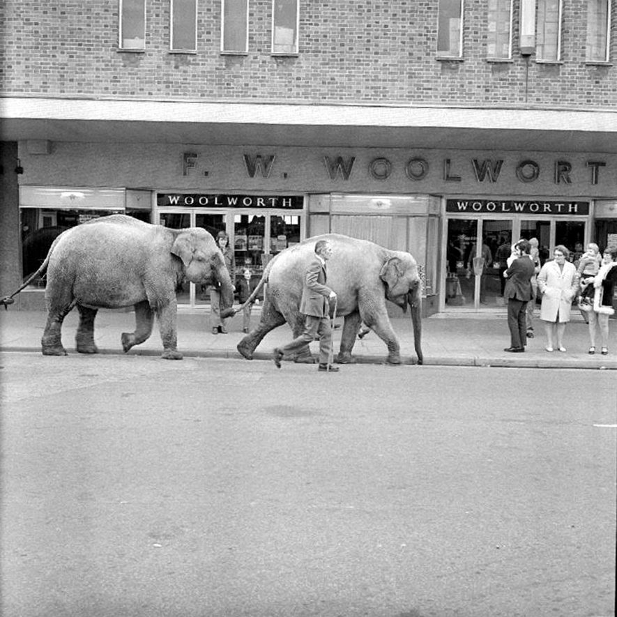 Elephants from Sir Robert Fossett's circus parading along Queen's Road, Nuneaton.  May 5th 1974    IMAGE LOCATION: (Warwickshire County Record Office)