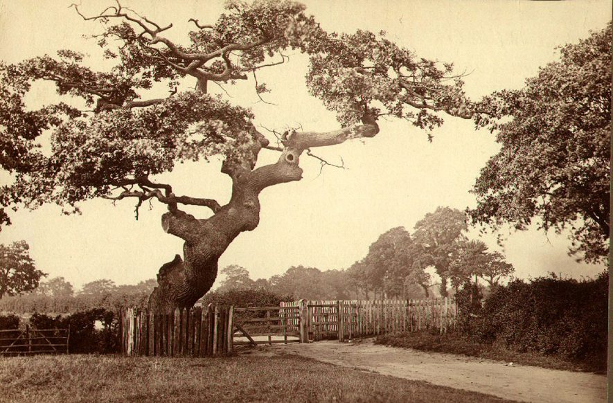 Prince Rupert's Oak, Leamington Spa.  Stood near the commencement of the path leading from Guys Cliffe Avenue to Guys Cliffe Fields.  1893 |  IMAGE LOCATION: (Leamington Library)