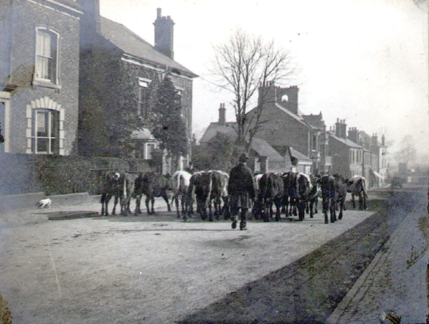 Cattle being driven to market, Albert Street, Rugby.  1880s |  IMAGE LOCATION: (Rugby Library)