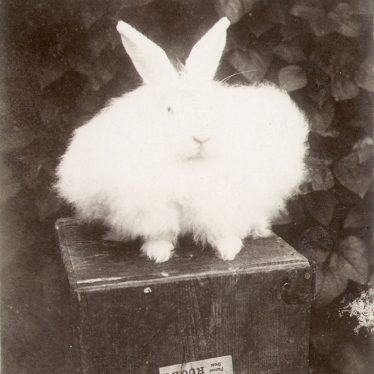 Rugby.  Prize angora rabbit