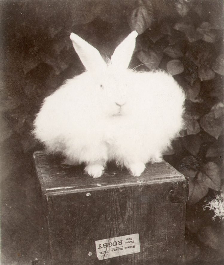 An angora rabbit from Rugby which won a prize at Crystal Palace.  1903 |  IMAGE LOCATION: (Rugby Library)