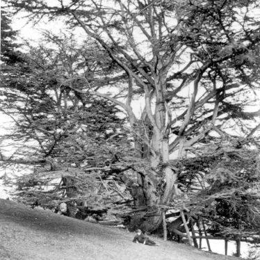 Warwick.  Castle Park, Cedar tree