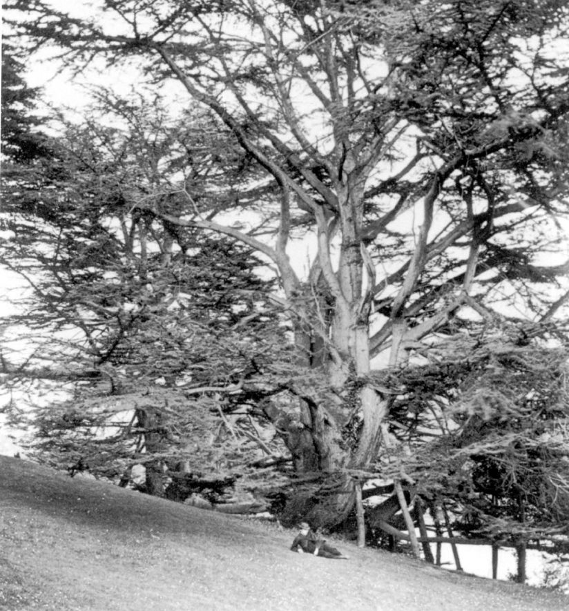 Cedar trees in the Castle Park, Warwick.  1860s |  IMAGE LOCATION: (Warwickshire County Record Office)