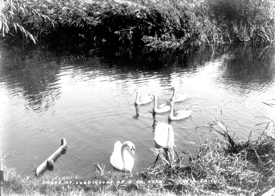 Swans on the River Avon at Luddington.  1900s |  IMAGE LOCATION: (Warwickshire County Record Office)