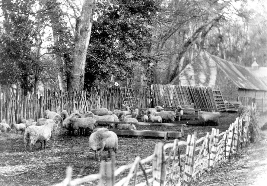 Sheep in fold at Alscot Park, Preston on Stour.  1930s    IMAGE LOCATION: (Warwickshire Museums. Photographic Collections.)