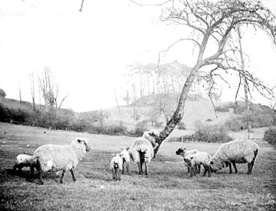 Sheep and lambs in meadow, by Castle Hill, Upper Brailes. Motte and Bailey in distance.  1900s |  IMAGE LOCATION: (Warwickshire Museums. Photographic Collections.)