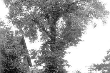 The Leek Wootton Elm