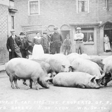 Stratford upon Avon.  Pigs in street