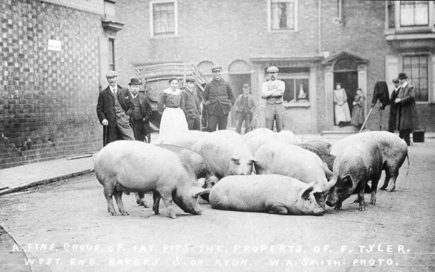 Pigs, property of F. Tyler, West End Bakery, in street with group of on-lookers, Stratford upon Avon.  1910    IMAGE LOCATION: (Warwickshire County Record Office) PEOPLE IN PHOTO: Tyler, F, Tyler as a surname