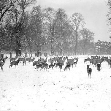 Charlecote Park.   Fallow deer