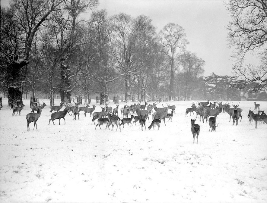 Fallow deer in the snow in Charlecote Park.  1950s |  IMAGE LOCATION: (Warwickshire County Record Office)