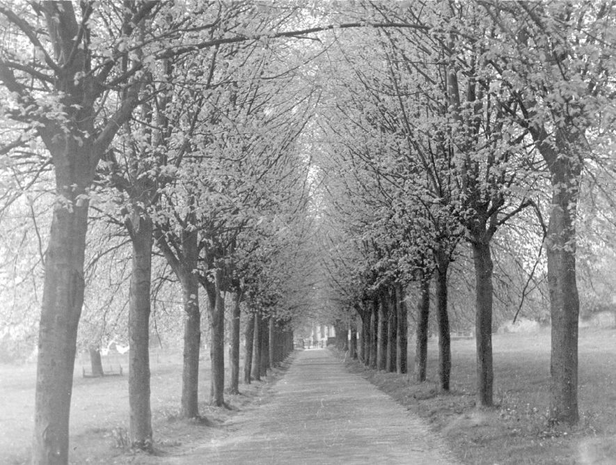 Avenue of trees in Abbey Fields, Kenilworth.  1900s |  IMAGE LOCATION: (Warwickshire County Record Office)