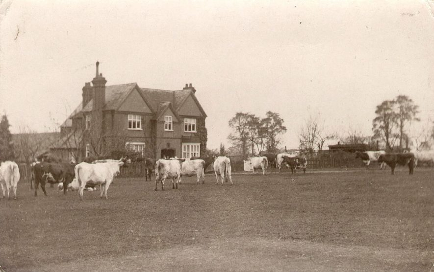 The farmhouse at Castle Farm, Kenilworth, with a herd of cows in the field in front.  1900s. |  IMAGE LOCATION: (Warwickshire County Record Office)