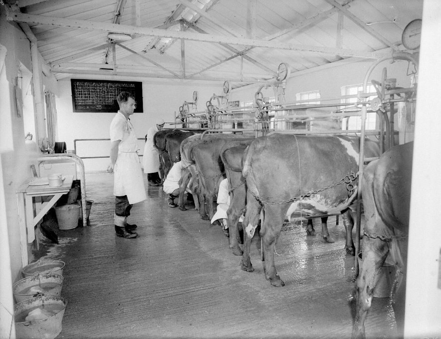 Cattle being milked by hand in the Milking Parlour at Moreton Hall Agricultural College, Moreton Morrell.  1959  |  IMAGE LOCATION: (Warwickshire County Record Office)