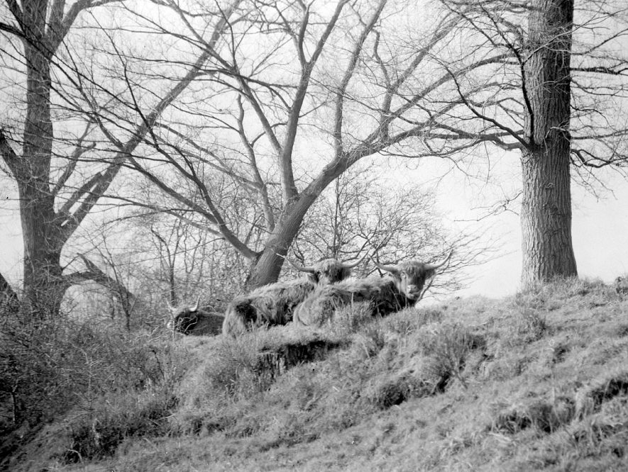 Highland cattle at Offchurch.  1957 |  IMAGE LOCATION: (Warwickshire County Record Office)