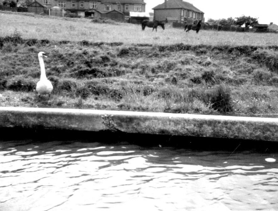 A swan on the bank of the Grand Union canal, Warwick.  1959 |  IMAGE LOCATION: (Warwickshire County Record Office)