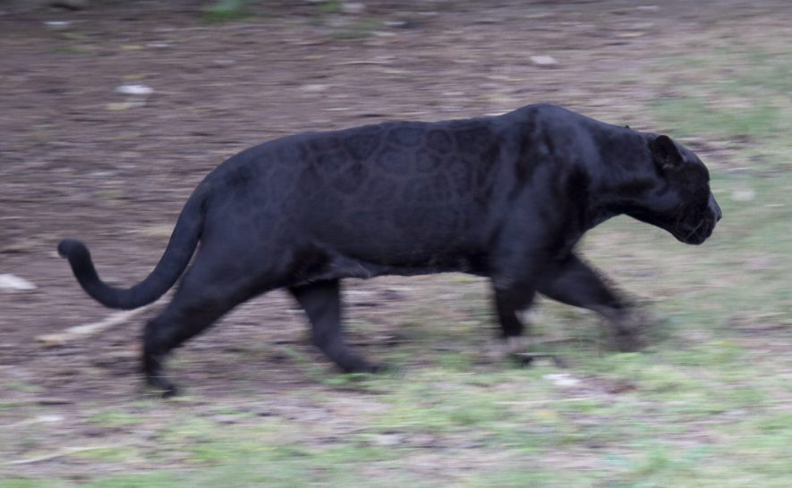A black jaguar on the move. The image is slightly blurred, and shot from a distance. | Image by Tony Hisgett. Originally uploaded to Wikipedia Commons
