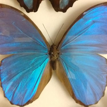 The Blue Morpho Butterfly in Warwickshire Museum's Collections