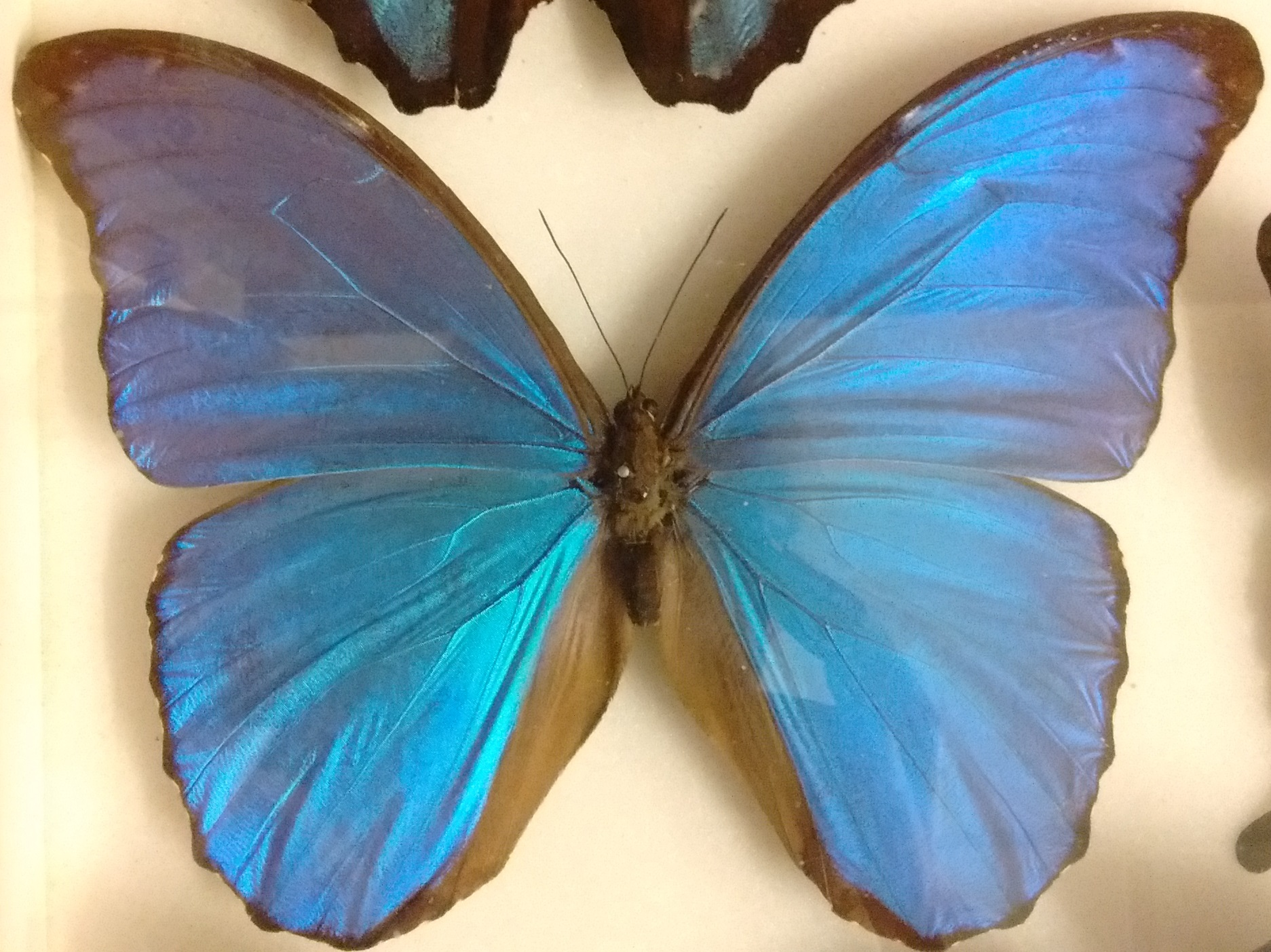 The Blue Morpho Butterfly In Warwickshire Museum S Collections Our Warwickshire