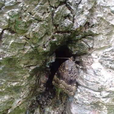 Copper Underwing moth.   Image courtesy of Robert Pitt