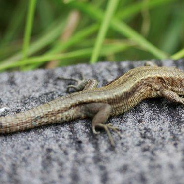 The Common Lizard in Warwickshire