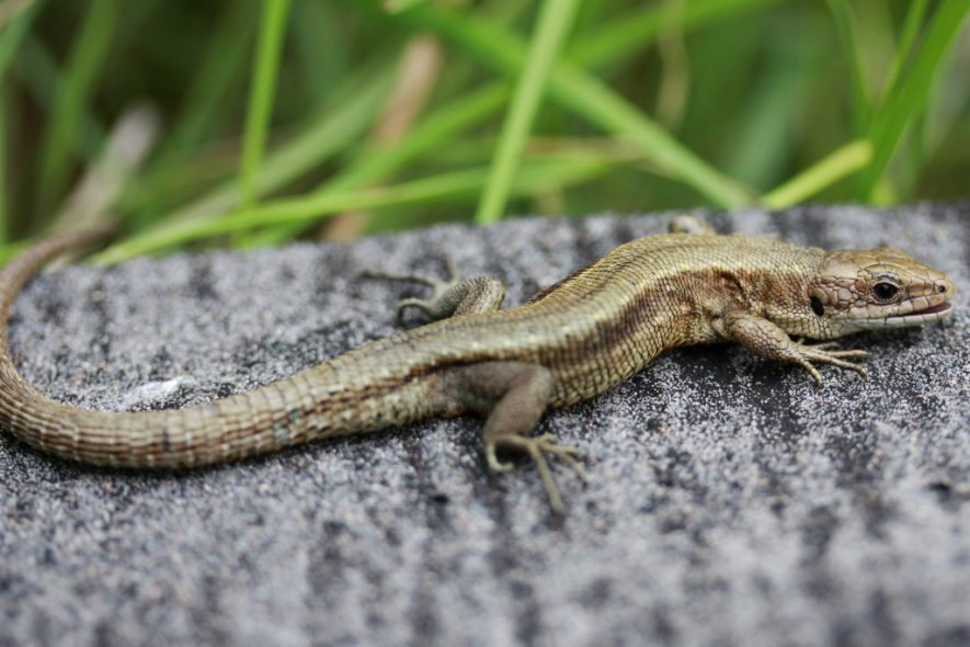 The common lizard basking on a grey, roughly hewn rock, in the sunshine.   Image by Thomas Brown. Originally uploaded to Wikipaedia Commons