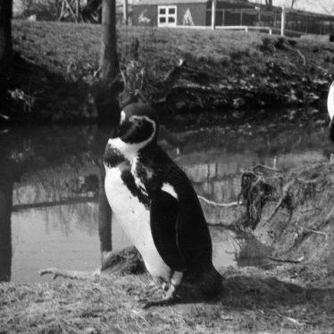 Penguins at Southam Zoo c. 1969. | Image courtesy of Mark Lavelle