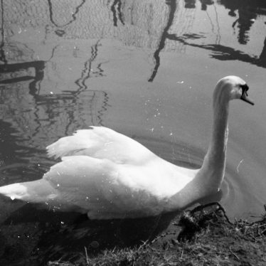 Swan at Southam Zoo, c. 1969. | Image courtesy of Mark Lavelle