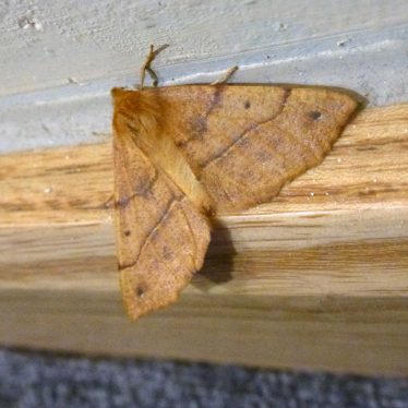 Feathered Thorn moth. | Image courtesy of Robert Pitt