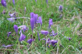 The Autumn Crocus in all its glory. The purple flowers are seen in close-up, amidst meadowland. | Image courtesy of Mark Smith