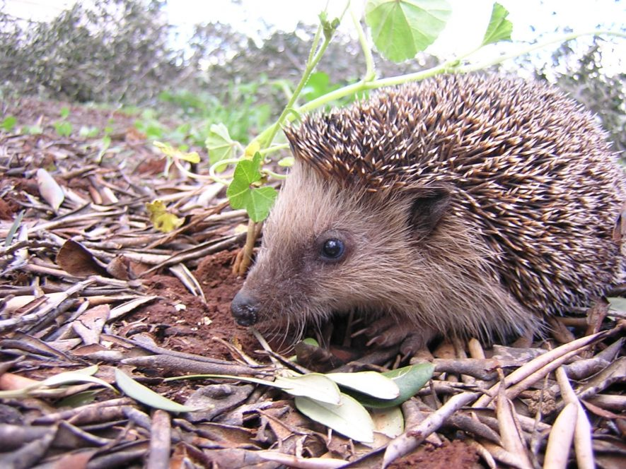 The European hedgehog | Image by Gibe via Wikicommons