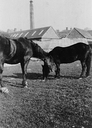 Blackie and Prince were used for pulling the waggons at the Skin Works at 78 West Street in Warwick. They were photographed grazing on land at the back of the works which can be seen in the background. | Image courtesy of Henry Street