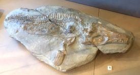 'Baby' ichthyosaur from Wilmcote. | Image courtesy of Jon Radley