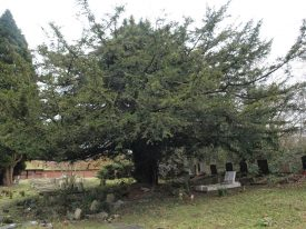 There are many mature yew trees scattered around St Giles churchyard, Packwood. | Image courtesy of Caroline Irwin