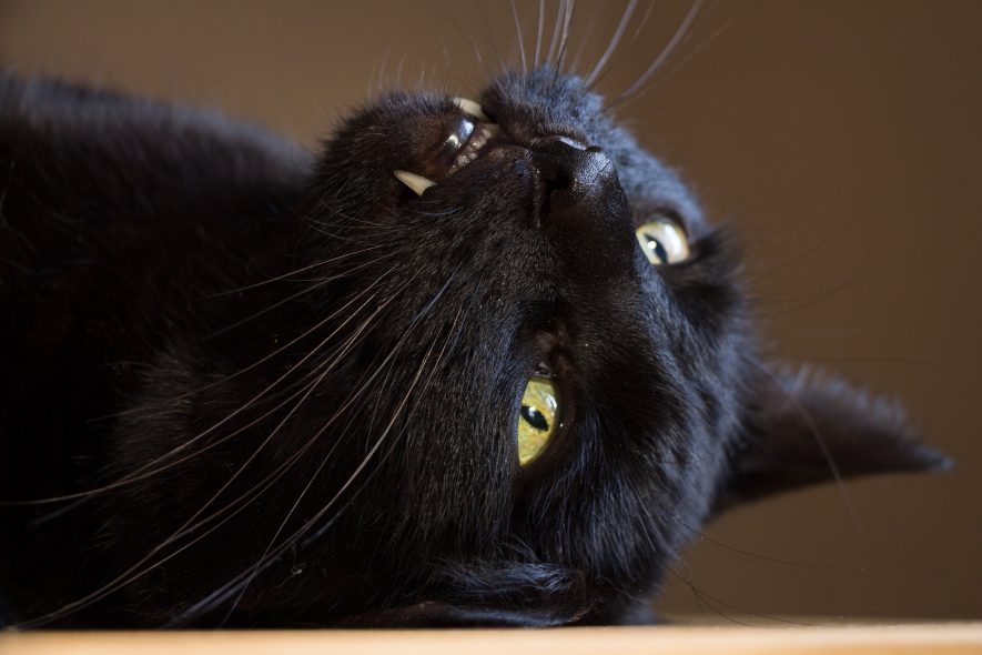 A black cat, doing its best to appear fierce, and live up to its reputation. It lies upside down with its teeth showing.   Image from Pixabay