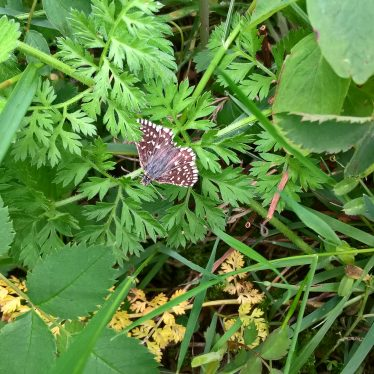 Grizzled Skipper at Fenny Compton Tunnels. | Image courtesy of Steven Wright