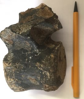 Iguanodon vertebra from the Isle of Wight | Image courtesy of Warwickshire Museum